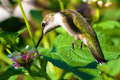 best 28 how much does a hummingbird eat per day a