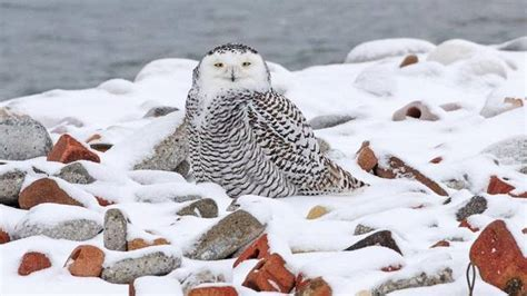 rare surge of snowy owls has north america s birders