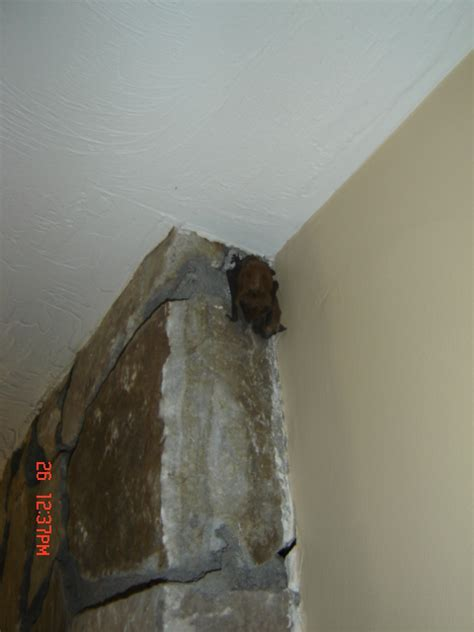 bats in the house batguys wildlife update may 2005