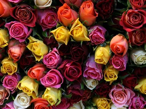 flowers roses   colors wallpaper hd