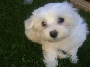 Puppies For Sale Maltese Puppies For Sale Liverpool Merseyside Pets4homes
