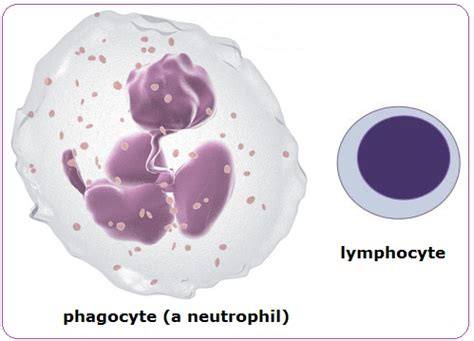 white blood cell diagram for blood pmg biology