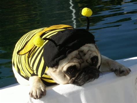 pug bumblebee costume user submitted pet costumes hgtv