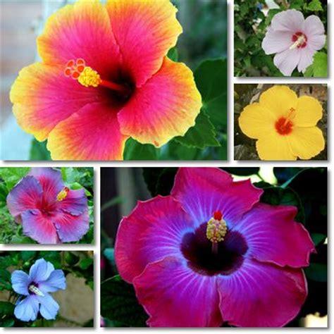 fiore di ibisco significato propriet 224 e benefici ibisco karkad 232 vitamine proteine