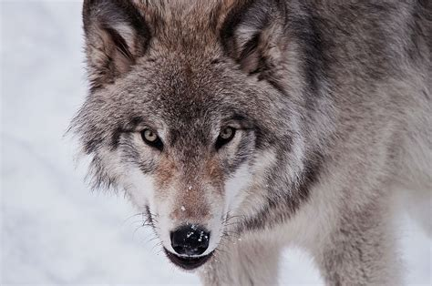 Lone Wolf image gallery lone wolf