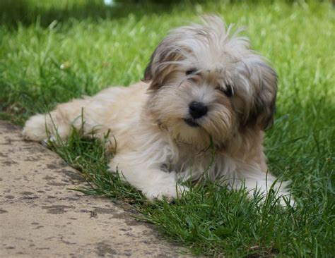 havanese breed havanese breed