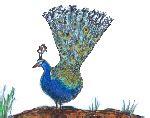 Kartu Ucapan 3d Bentuk Burung Merak burung merak gif gambar animasi animasi bergerak 100 gratis