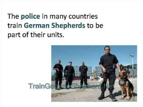 how to your to attack on command how to your german shepherd to attack on command