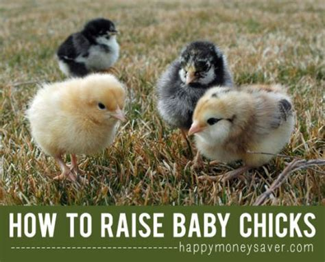 36 best araucana chickens images on pinterest eggs