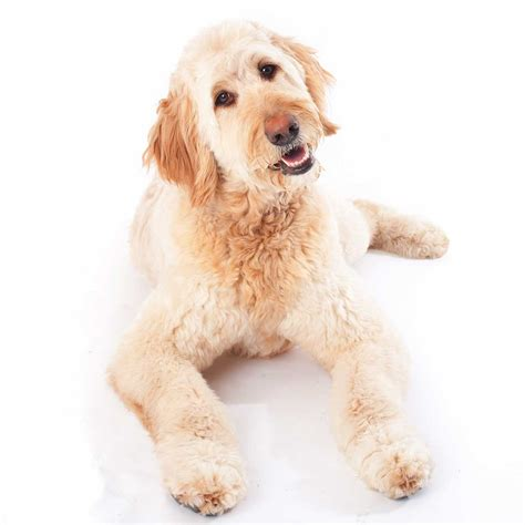 doodle doodle breed goldendoodle breed 187 everything about goldendoodles