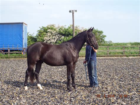 hanoverian horses for sale hanoverian for sale witcham house farm stud