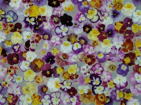 ricordi fiorivano le viole viole d 233 finition c est quoi
