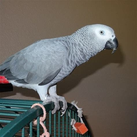 african grey congo parrot 130786 for sale in fairlawn nj