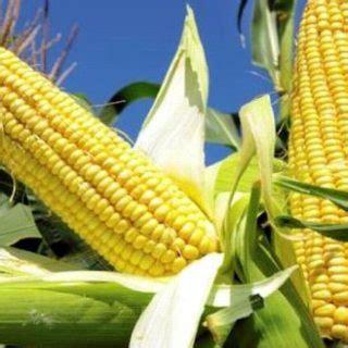 tanaman pangan serealia archives tanah kaya