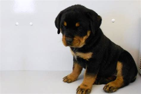 manhattan puppies rottweilers for sale in manhattan manhattan puppies kittens