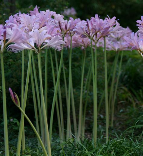 when to plant flowering bulbs for summer fall blooming bulbs gardening guide