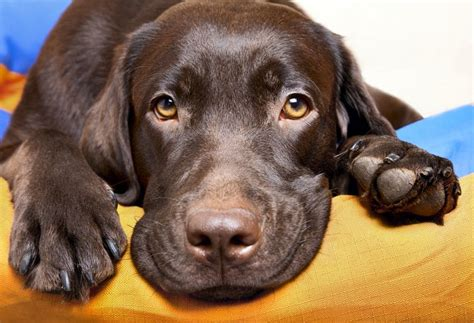 labrador sucht zuhause labrador in not