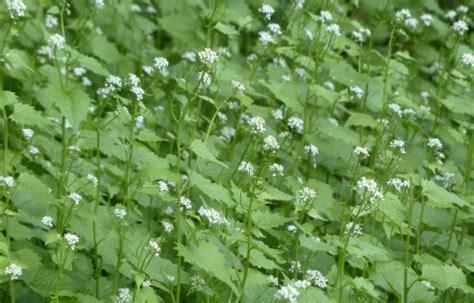 nh fiori invasive plants unh extension