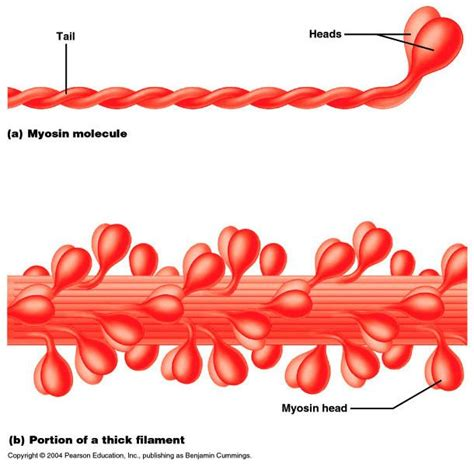 4 proteins of thin filaments related keywords suggestions for elastic filaments