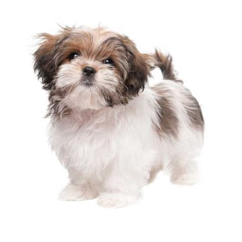 average weight for maltese shih tzu maltese shih tzu breed 187 everything about the malshi