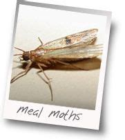Cycle Of Pantry Moth by Home Pantry And Libraries On