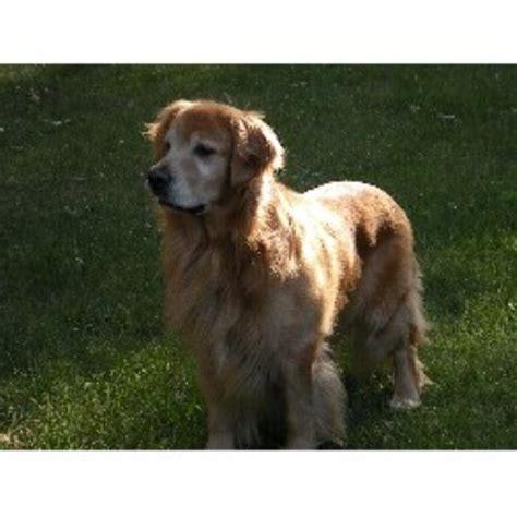 golden retriever breeders in mi golden days golden retriever breeder in conklin michigan