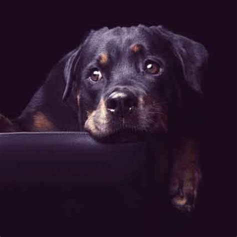 small guard dogs how to make a rottweiler a guard petcarerx