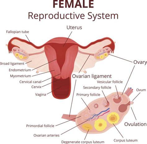 vestibulo genital feminino zdravlje archives zorainfo