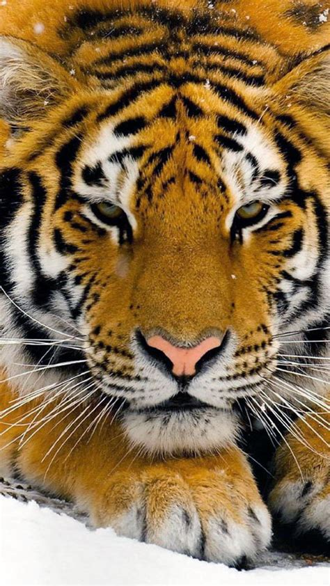 hd wallpaper for android tiger wallpapers bengal tiger android wallpapers