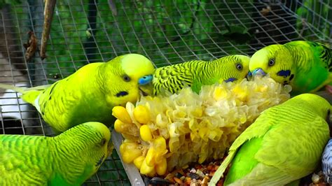 a gang of corny budgies eating corn what a tasty treat