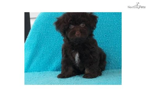 chocolate havanese puppies for sale in ohio dogs for sale chocolate havanese puppies chocolate havanese puppies breeds picture