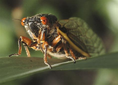cicada brood to make return this spring in southern maryland