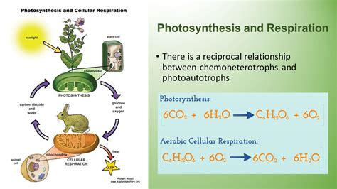 cell energy photosynthesis and respiration section 6 1 answers photosynthesis cellular energy ppt download