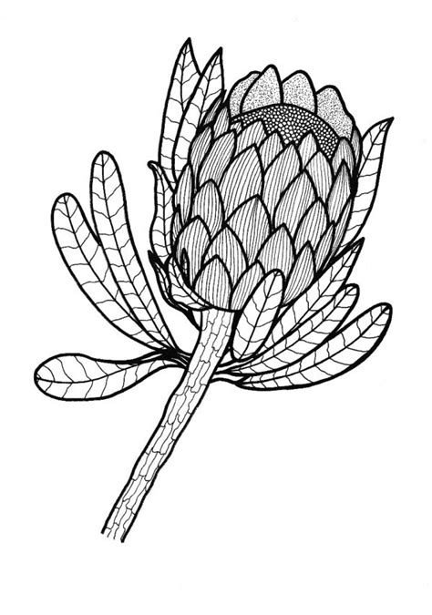 sugarbush protea coloring page thriftyfun