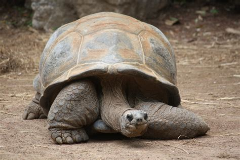 File:Aldabra Tortoise 037.jpg - Wikimedia Commons