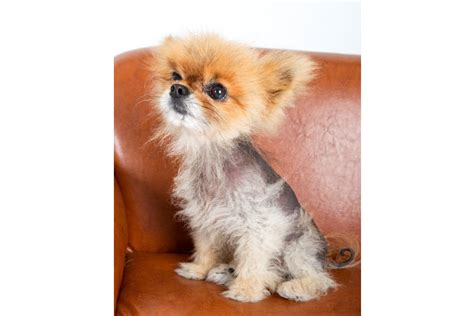 pomeranian hair loss causes hair loss in dogs causes and prevention