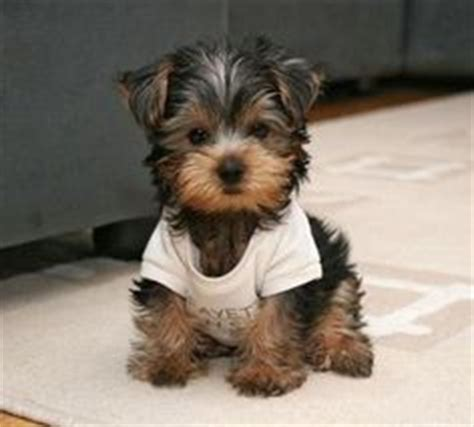 clothes for teacup yorkies 1000 images about pups mainly teacup yorkies on teacup pomeranian