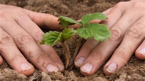 wann pflanze ich erdbeeren wann ist die beste zeit erdbeeren zu pflanzen frag mutti