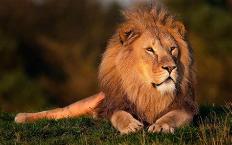 imagenes de leones besandose imagenes hilandy fondo de pantalla animales leon rey de