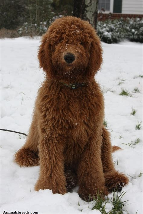 doodle dogs goldendoodle puppies rescue pictures information temperament characteristics