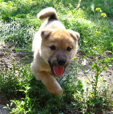 jindo puppy picture