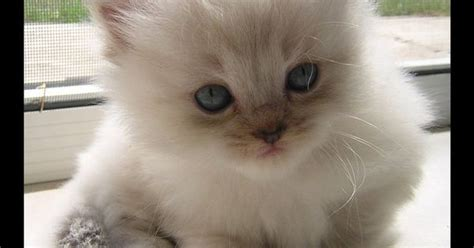 Ragdoll Cat Shedding by Ragdoll Kitten These Nuggets Are Hypoallergenic And Don