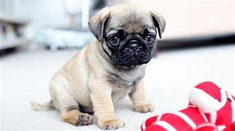 how much are pug puppies cutest pug puppies