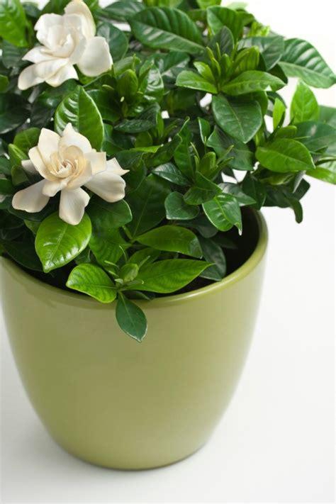 growing gardenias thriftyfun