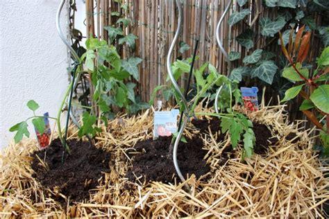 Tomaten Auf Stroh Gesetzt Pflanzen Auf Stroh