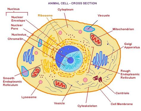 3d animal cell diagram pictures
