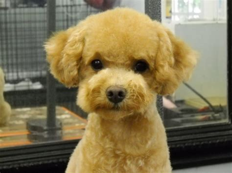 different poodle haircuts cute poodle haircuts different poodles litle pups