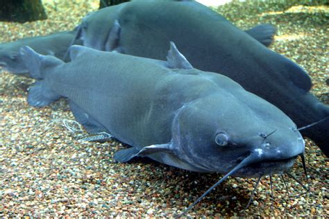 Catfish Search Channel Catfish Ohio History Central