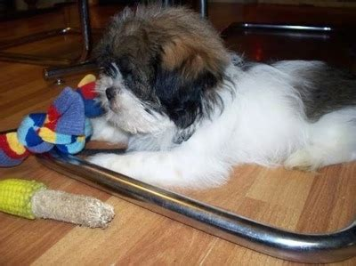 can shih tzu eat fish shih tzu breed pictures 1