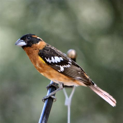 black headed grosbeak on the wild side of the arkansas